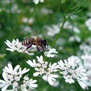 coriandolo-miele-ape-apicoltura-cazzola-