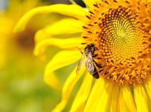 miele-girasole-ape-sunflower-honey-giorg
