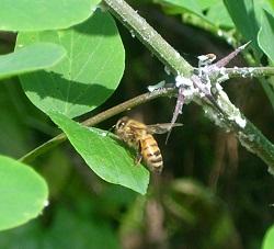 miele-piemonte-melata-  bosco-apicoltura